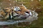 Tigershark?