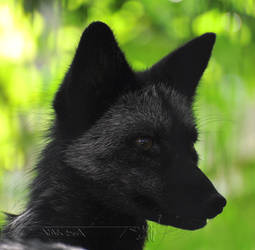 Black Red Fox