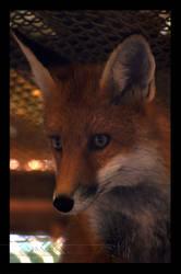 Red Fox II by Wild-Soul