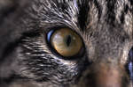 Eye of the Tiger-Cat