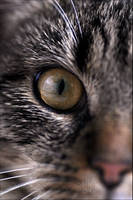 Eye of the Tiger-Cat II