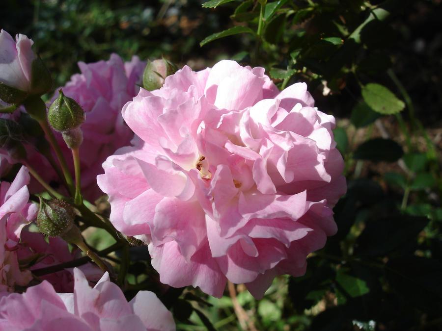 Rosaceae by Zaiosc
