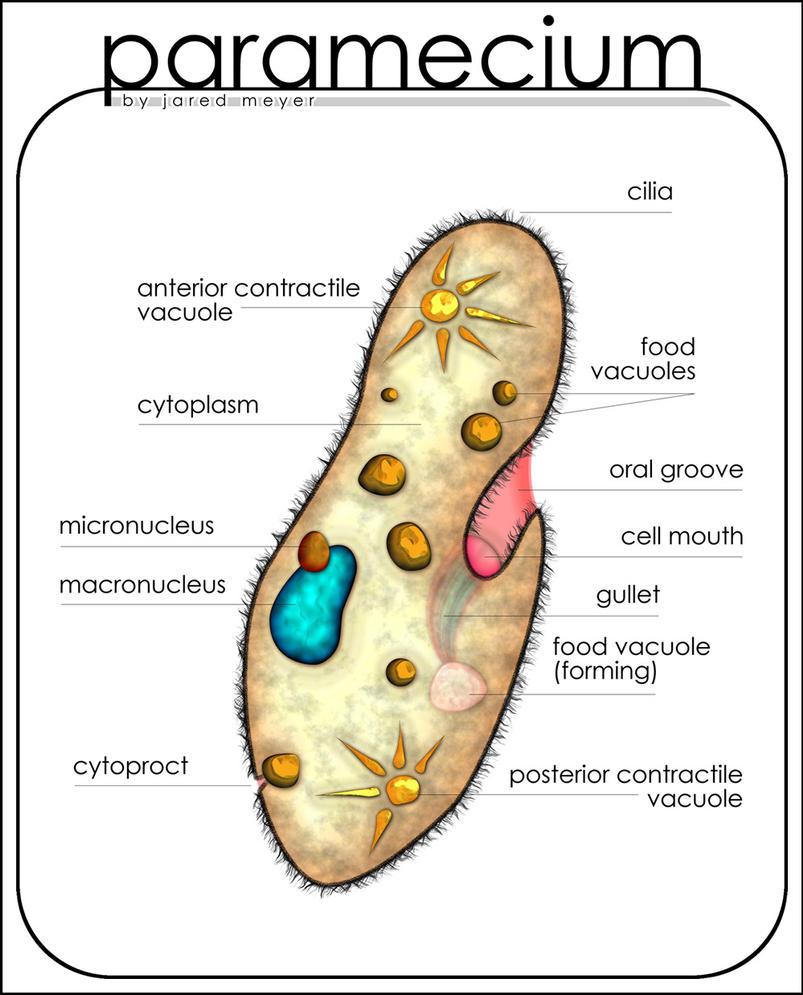 paramecium diagram by lucidhysteria on deviantart : paramecium diagram - findchart.co