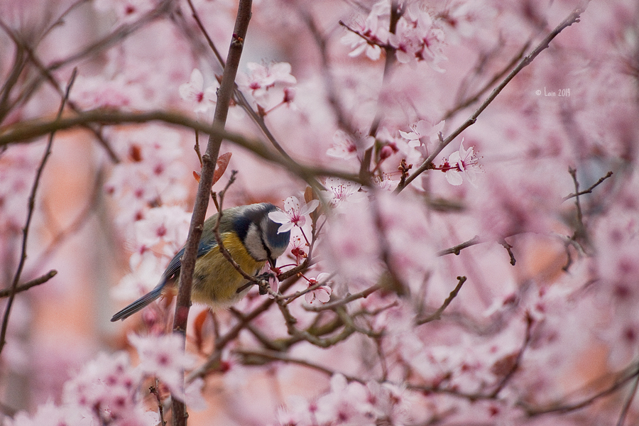bluetit in cherry blossoms by Lain-AwakeAtNight