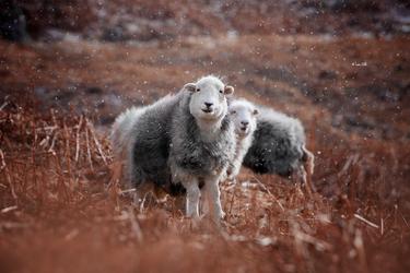 polar bear sheep by Lain-AwakeAtNight