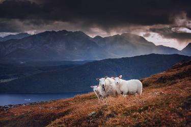Sheep Family by Lain-AwakeAtNight