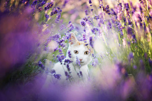 Lavender Kitty