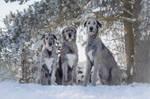 Irish Wolfhound Gang