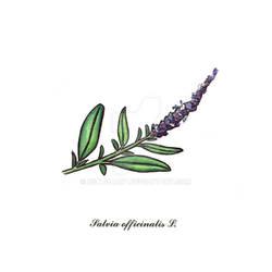 Salvia officinalis L