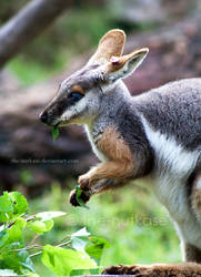 Yellow-Footed Rock Wallaby by NutkaseCreates