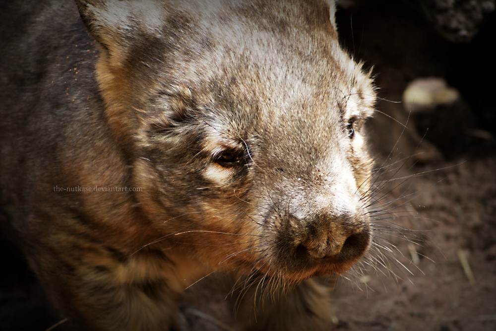 Hairy-Nosed Wombat by The-Nutkase