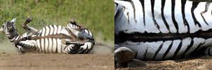 Grant's Zebra Belly