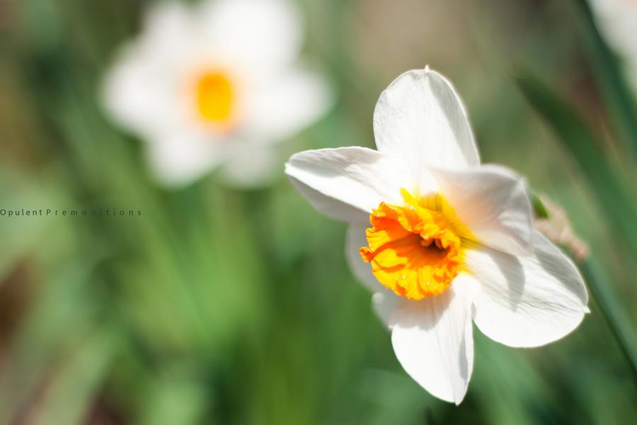 Daffodils by LiiLiiFish