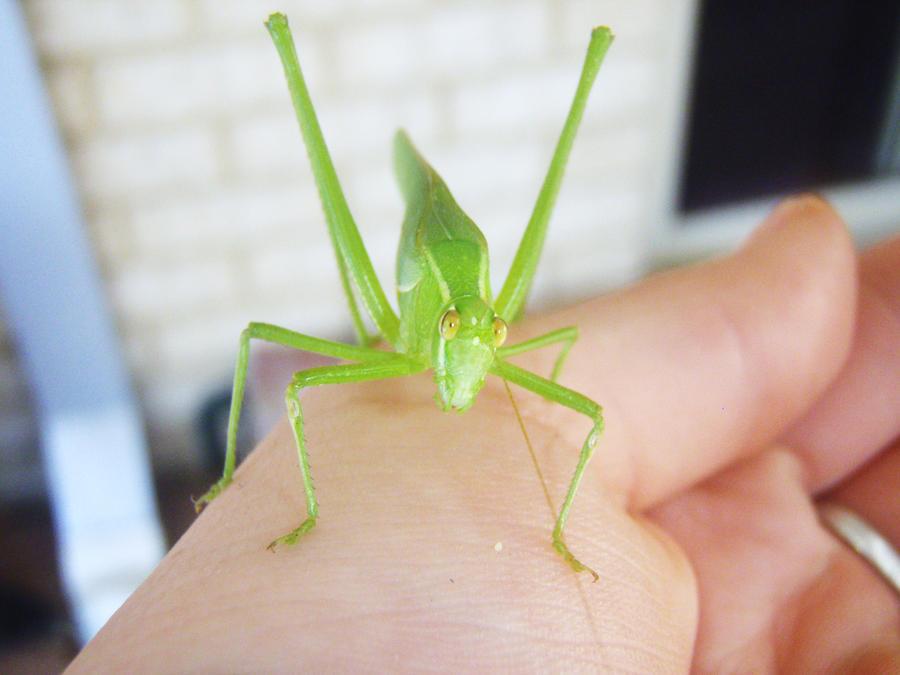 Bright Green Grasshopper by JessicaNarelle