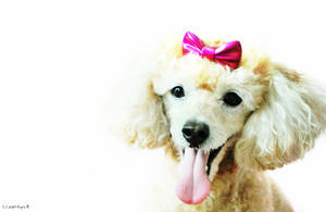 Mickey: Toy Poodle by sweetsaki19