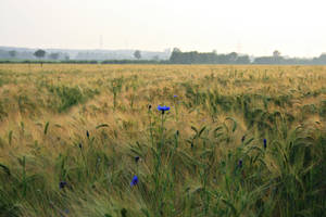 Field Collection: Cornflower by Germanstock