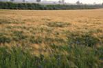 Field Collection: Cornflower 2