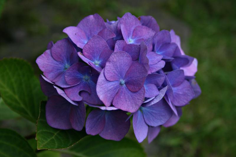 Ken Daisuke Flower_Collection__Hortensia_2_by_Germanstock