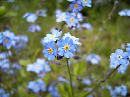 Flower: Vergissmeinnicht by Germanstock
