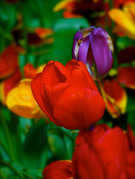 Vibrant Red Roses 08