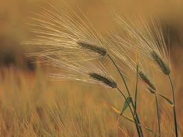 Wheaten Fields