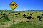 roo's in the paddock