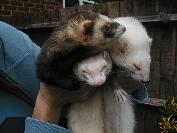 Ferrets by RogueWanderer