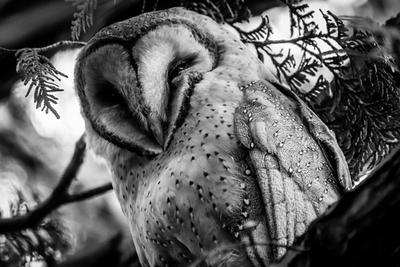 Barn Owl by InnocentEye