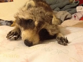 Raccoon soft mount for sale or trade
