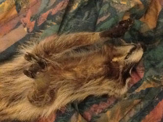 Raccoon soft mount sale or trade 3
