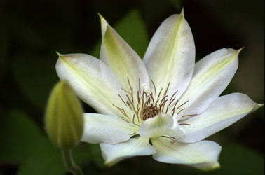 Clematis 005 by Axis29