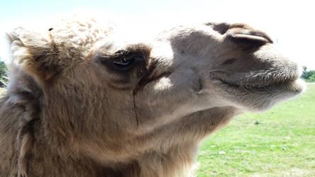 Bo the Camel by chenoasart