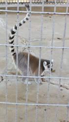 Lemur by chenoasart