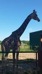 Sheldon the Giraffe by chenoasart