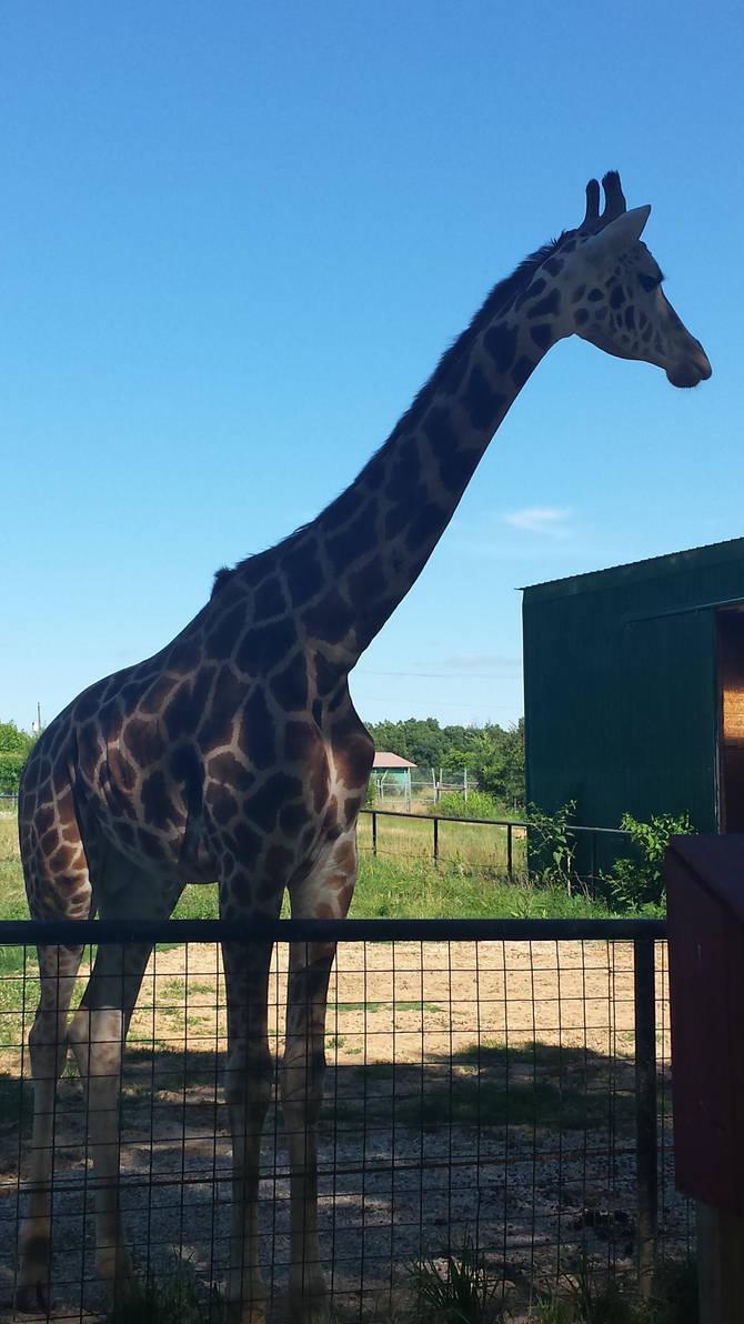 Sheldon the Giraffe
