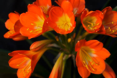 Clivia Flowers by sztewe