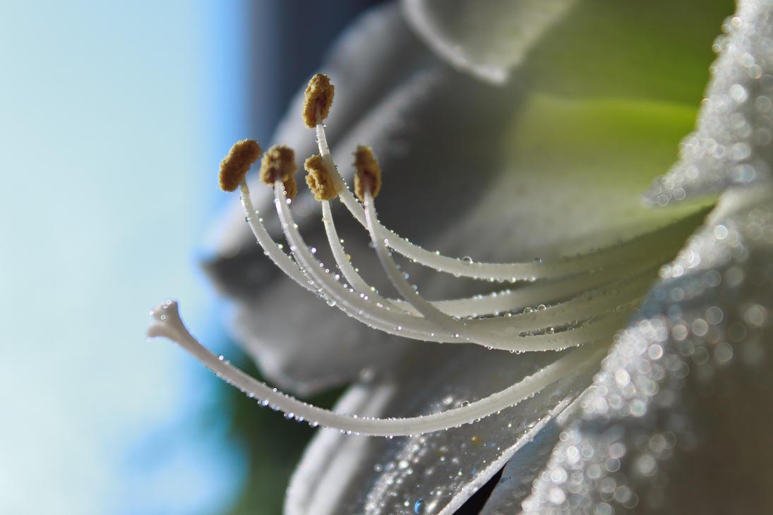White Amaryllis drops by sztewe