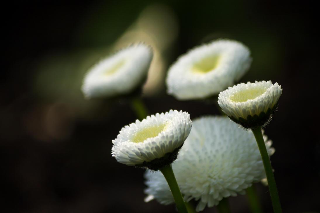 Budding Daisys by sztewe