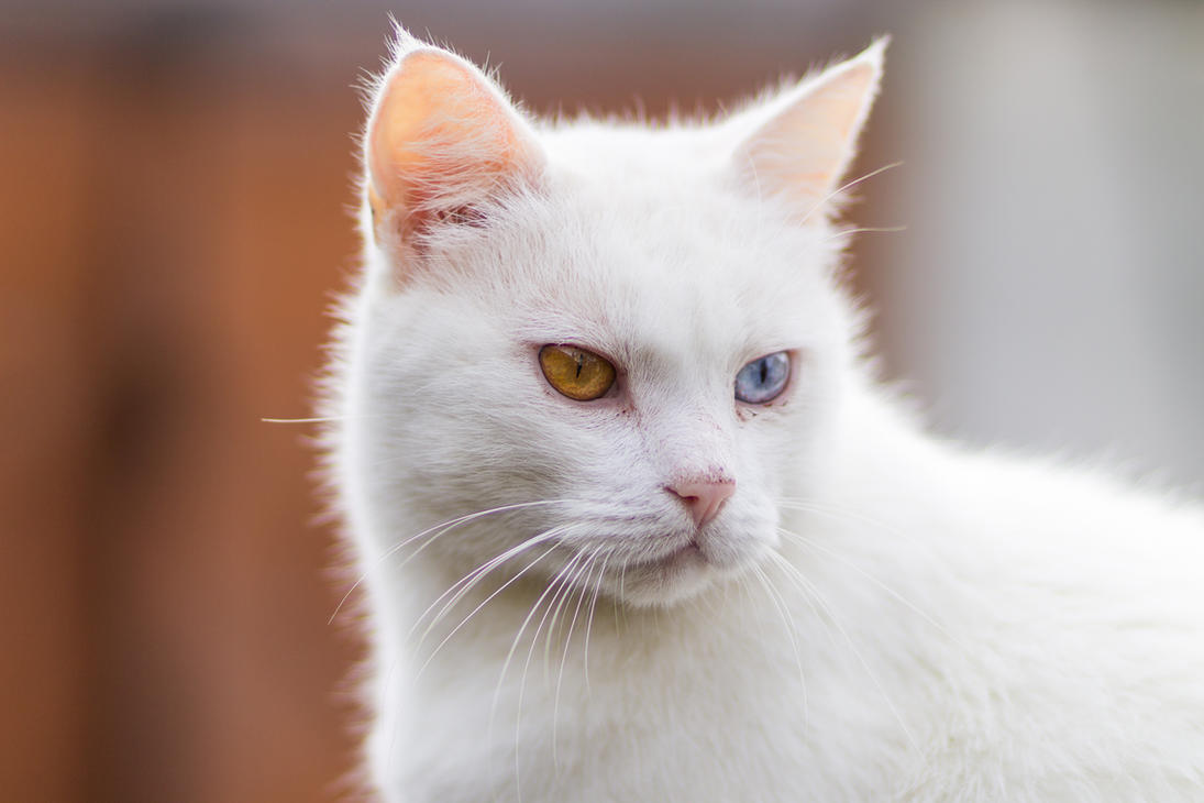 Frici cat closeup by sztewe