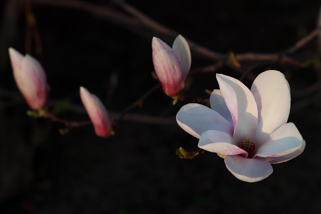Magnolia by sztewe