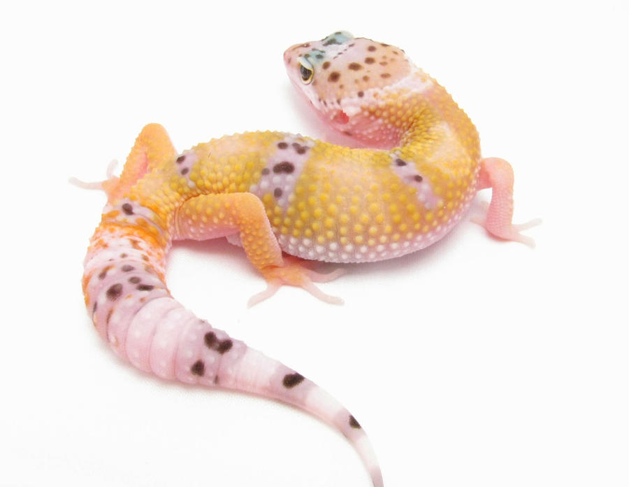 Gecko In Lightbox by SketchingGecko