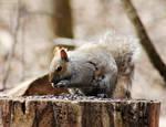 130614 Gray Squirrel