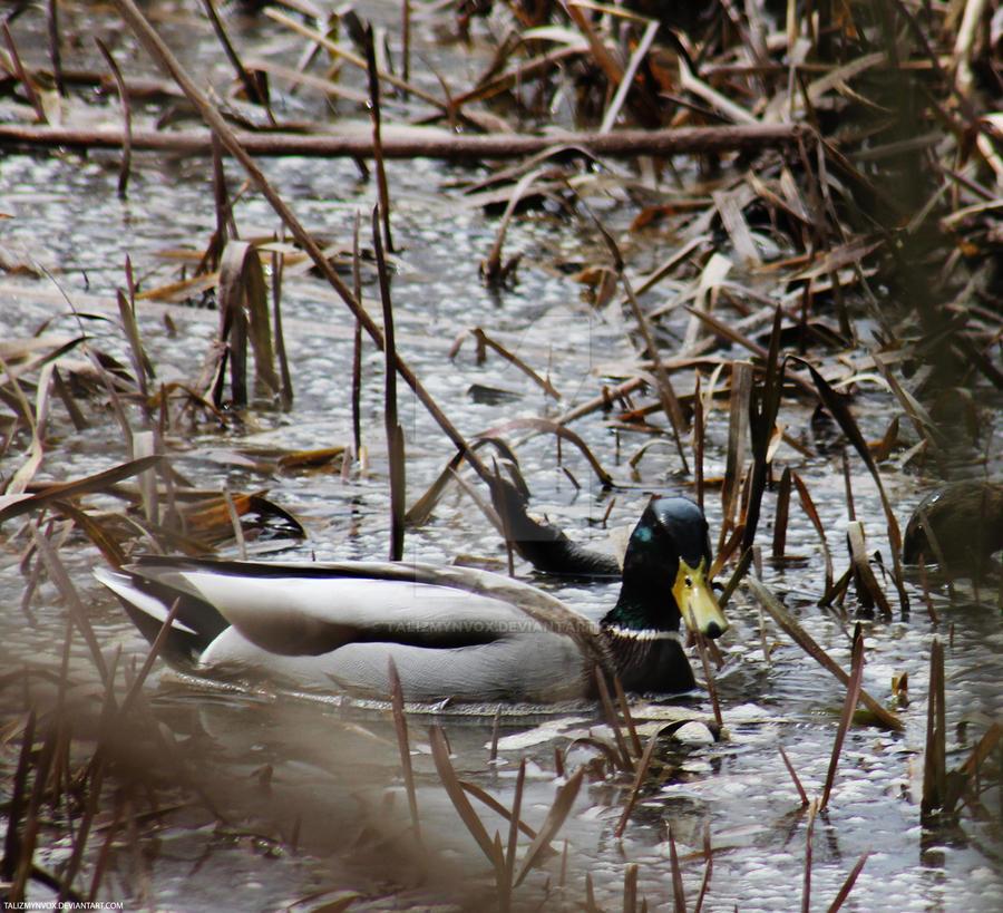 130622 Duck by TalizmynVox