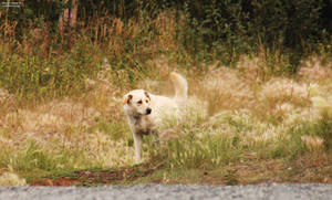 140801 Golden Grasses, Golden Dog