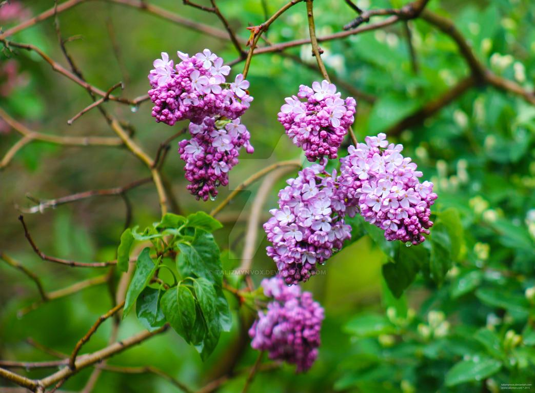 150606 Purple by TalizmynVox