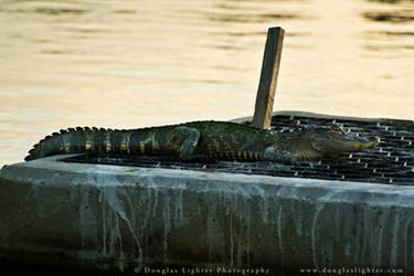 Alligator by MrScruffy
