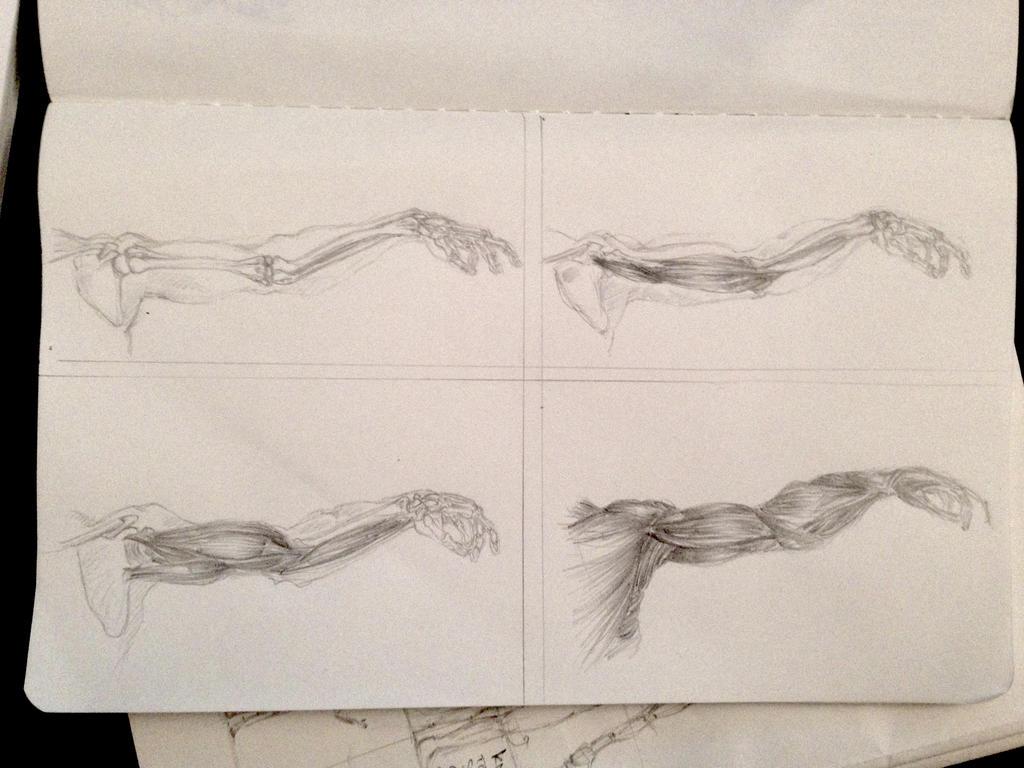 Anatomy Of An Arm Studies By Gorilladrone On Deviantart