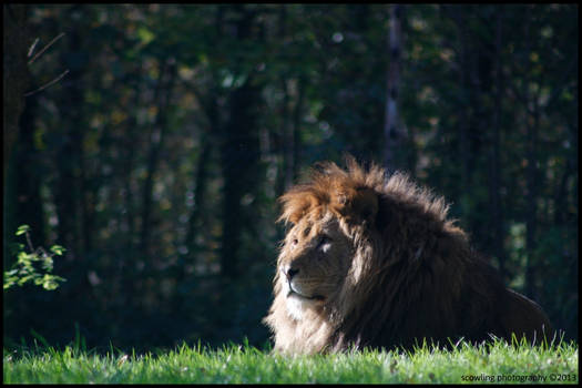 Majestic African Male Lion