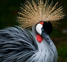 Grey Crowned Crane by LAlight