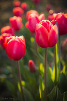 Tulip Fest by LAlight